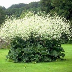 растение катран