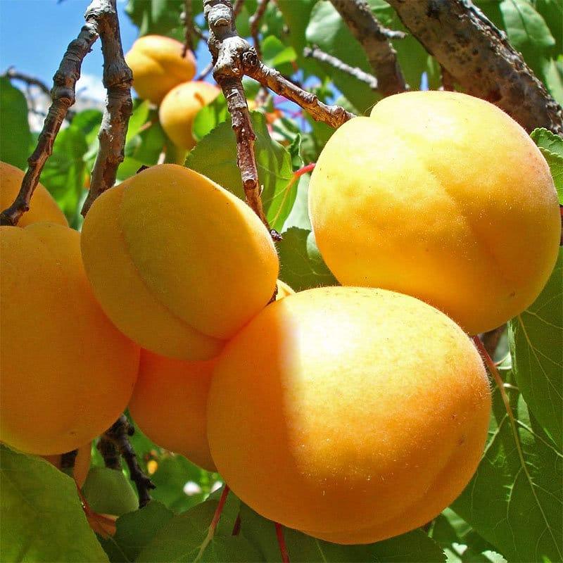 абрикос полезен для лица